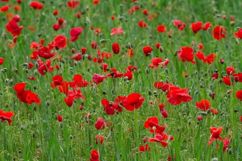 Many red poppies in a field a cloudy sommer day stock images