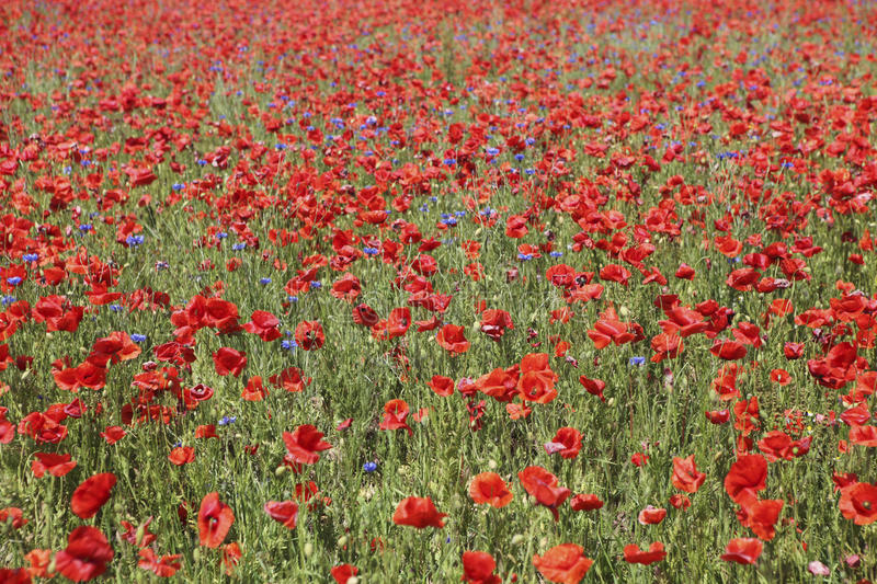 Many poppies stock images