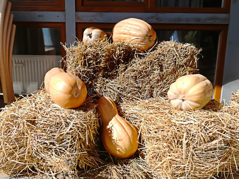 Many pumpkins lying on the hay on Halloween stock images
