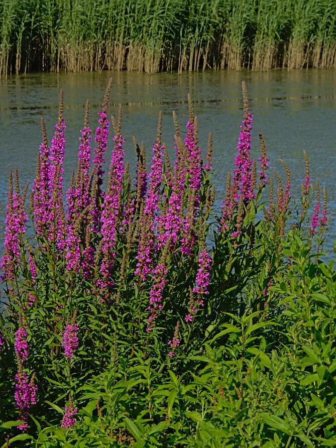 Many Puprle loosetrife flowers on the side of a peat lake - Lythrum salicaria stock image