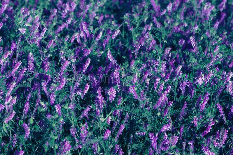 Many of purple and green tinted wildflowers bloom on field or meadow. Natural background royalty free stock photography