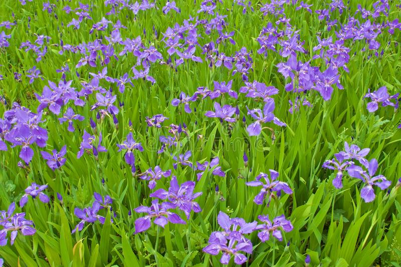 Many purple wall iris flowers blooming in the field royalty free stock photography