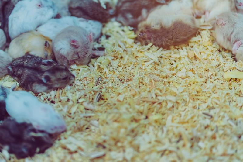 Many rats are sleeping, resting and eating. In cages royalty free stock photo
