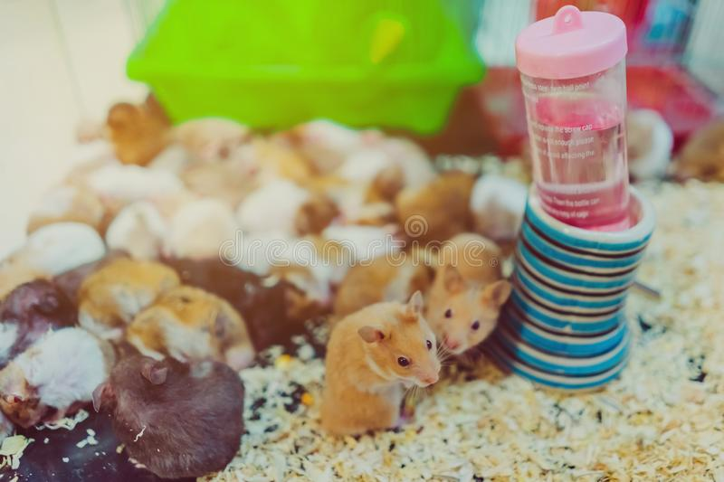 Many rats are sleeping, resting and eating. In cages royalty free stock photography