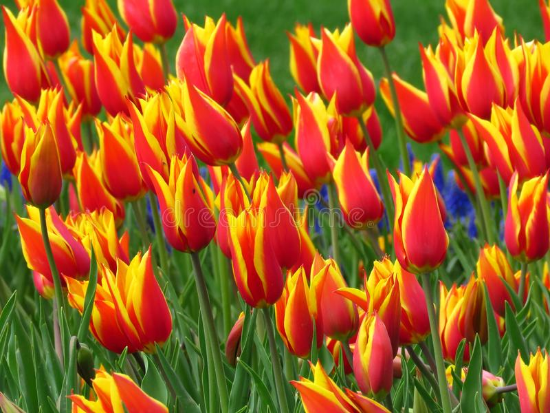 Many red blooming Tulips with sharp petals Aladin kind, and yellow edges. Tulip field.  Beautiful spring flower. royalty free stock image