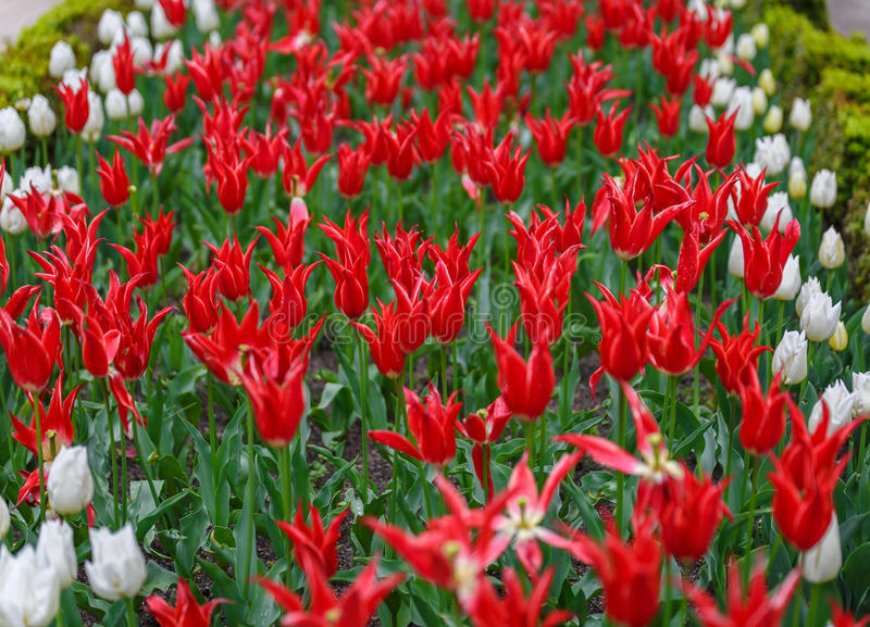 Many red flowers along with white flowers. In a large garden royalty free stock photography