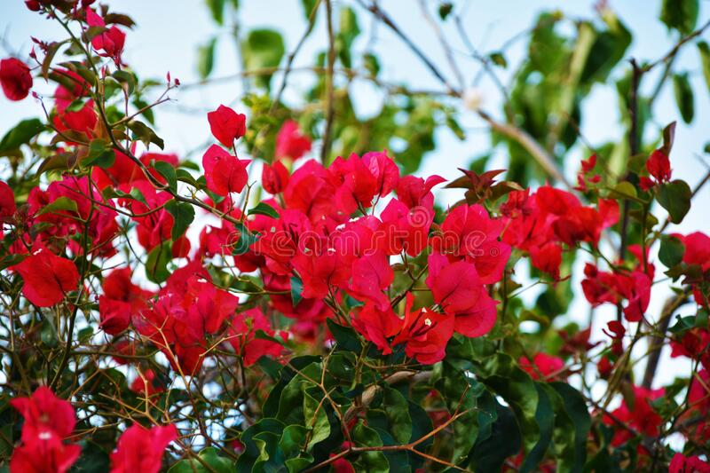 Many red flowers among the leaves. Many red flowers intertwine among green leaves against a clear blue sky royalty free stock photo