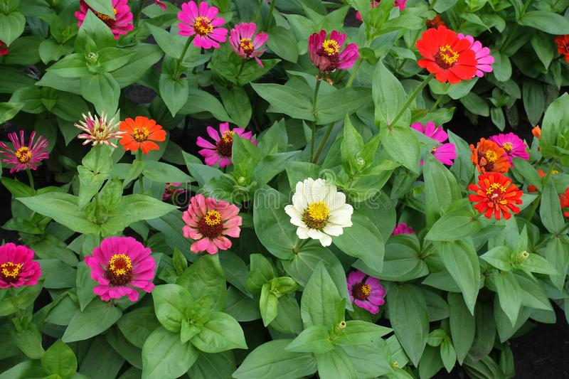 Many red, pink, orange, white and magenta-colored flowers of zinnia stock images