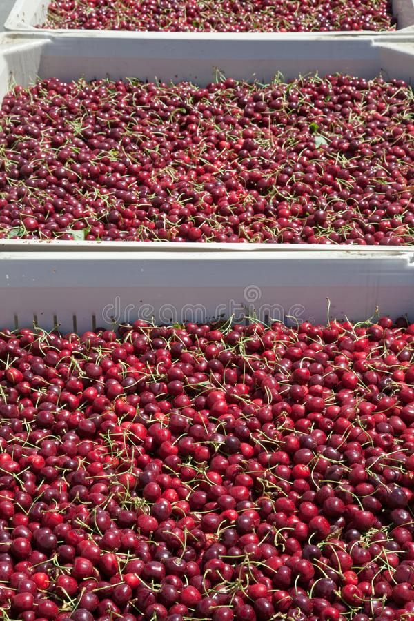 Many red ripe cherries in a bin ready to be packaged for sale royalty free stock images