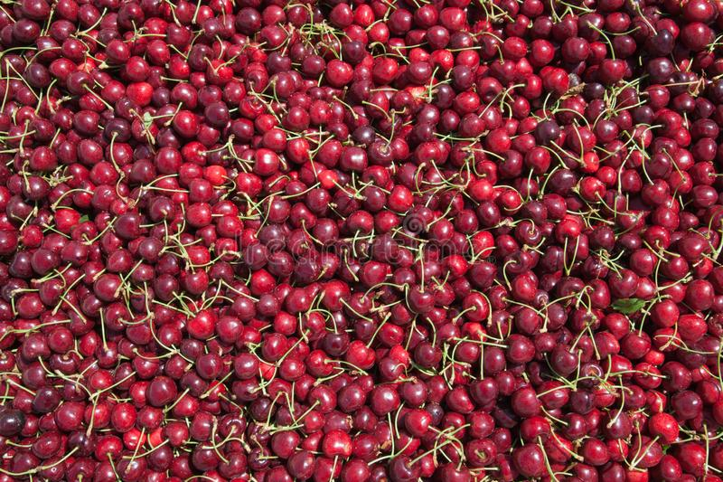 Many red ripe cherries in a bin ready to be packaged for sale stock photo