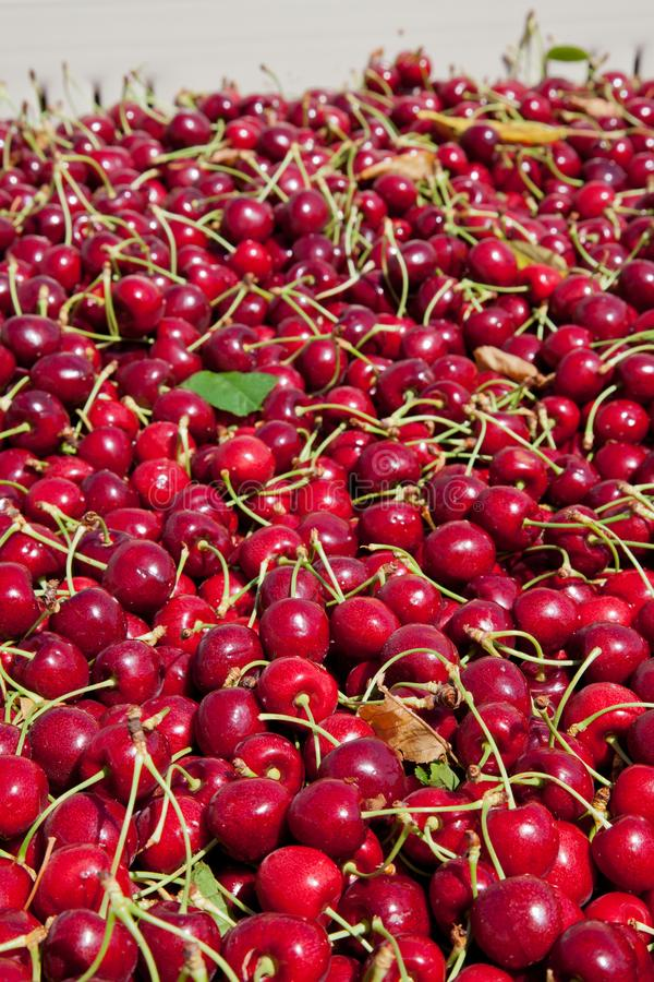 Many red ripe cherries in a bin ready to be packaged for sale stock images