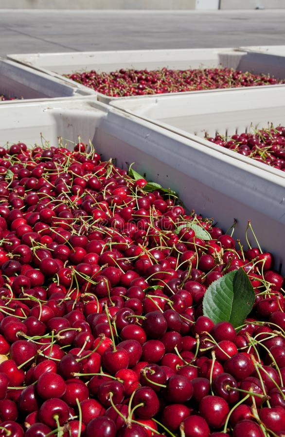 Many red ripe cherries in a bin ready to be packaged for sale royalty free stock image