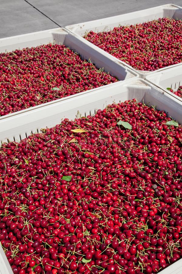 Many red ripe cherries in a bin ready to be packaged for sale royalty free stock photography