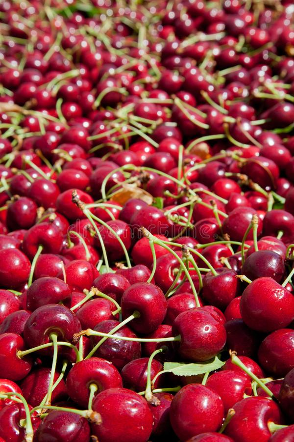 Many red ripe cherries in a bin ready to be packaged for sale stock photos