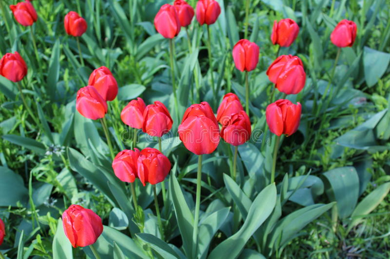 Many red tulips sent their buds to the sky. They have juicy green leaves and they grow among the green grass royalty free stock photos