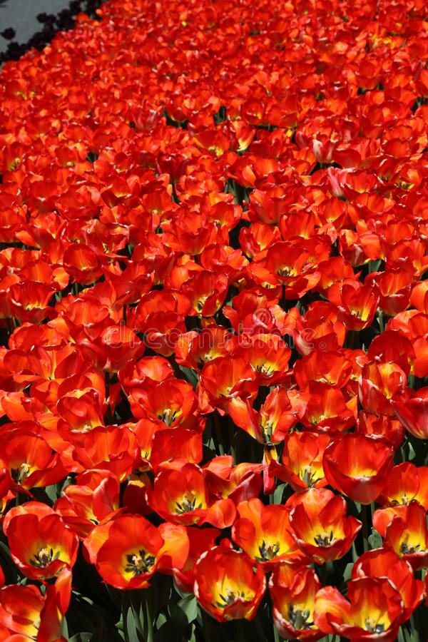 Multiple red tulips bed in Spring. Many red tulips in the spring time. Sunny day photo of the flower garden. green leaves, vertical royalty free stock photography
