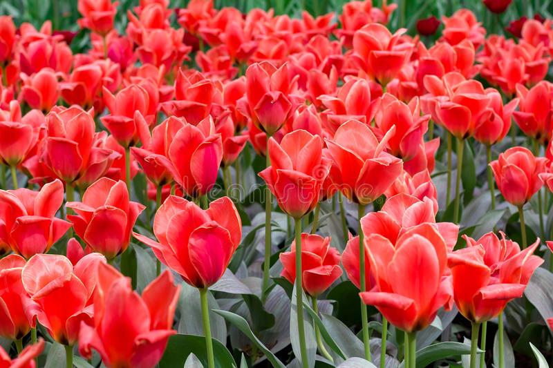 Many red tulips on a Sunny day. Festive floral background. stock image