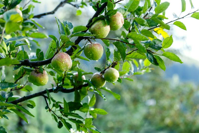 Many apples on a tree after rain. Many ripe apples on a tree in mountains in Himalaya with drops of water royalty free stock image