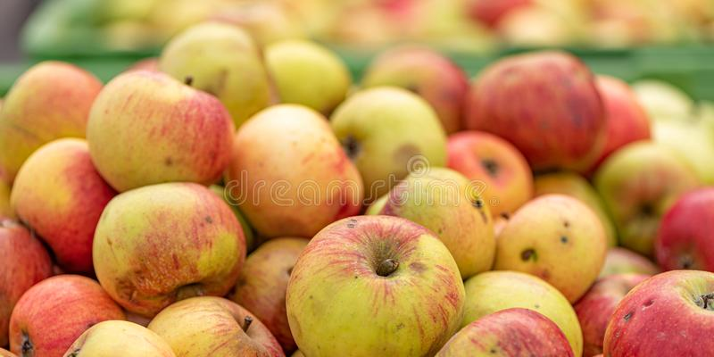 Many ripe fall apples in a container in autumn royalty free stock photo