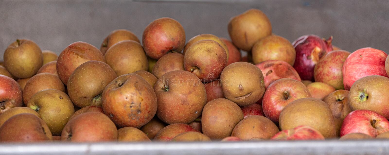 Many Ripe fall apples in a container in the season autumn. Many Ripe fall apples in a container in autumn royalty free stock photos