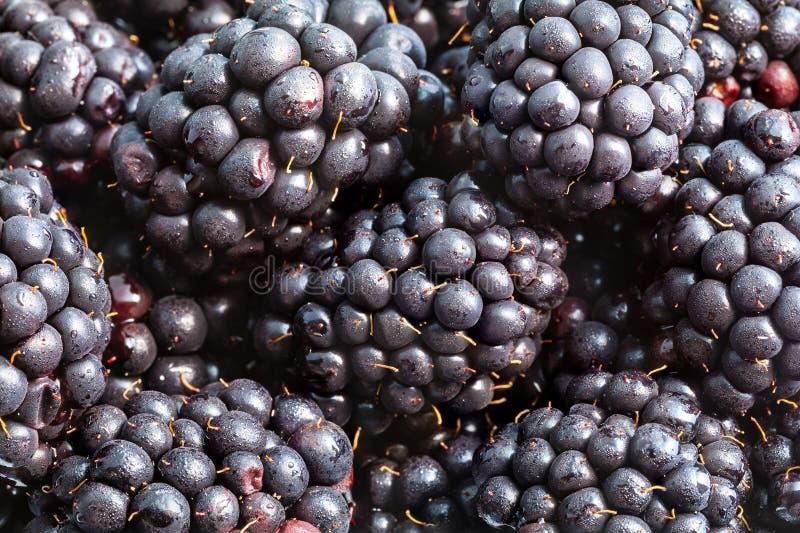 many ripe fresh blackberries close up stock photography