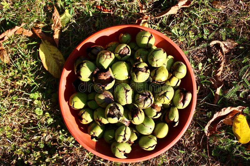 Many ripe walnuts with shells. The picture shows many ripe walnuts with shells stock image