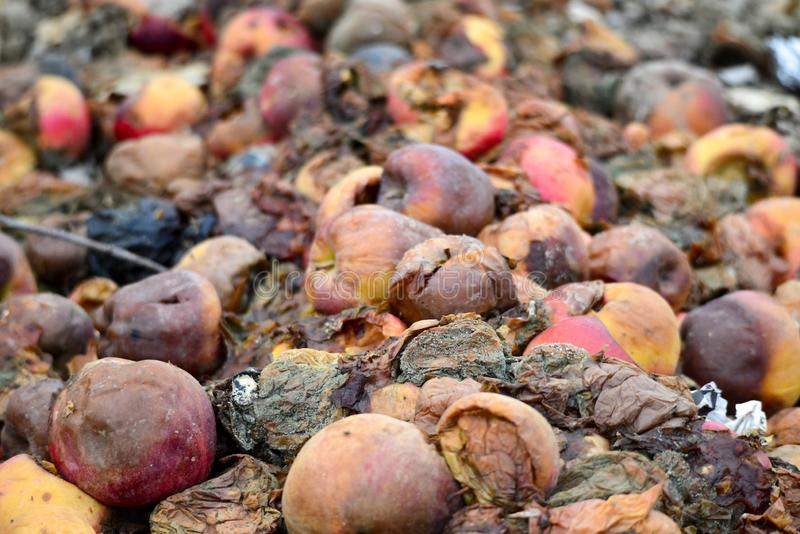 Many rotten apples on the ground. Organic pollution concept royalty free stock images