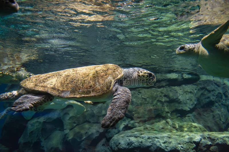 Many sea turtles under water stock photo