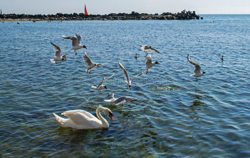 Many seabirds, gulls and a swan, eat near the shore. A new beautiful day at the sea royalty free stock photos