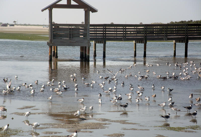 Many seagulls at shore on wooden bridge royalty free stock image