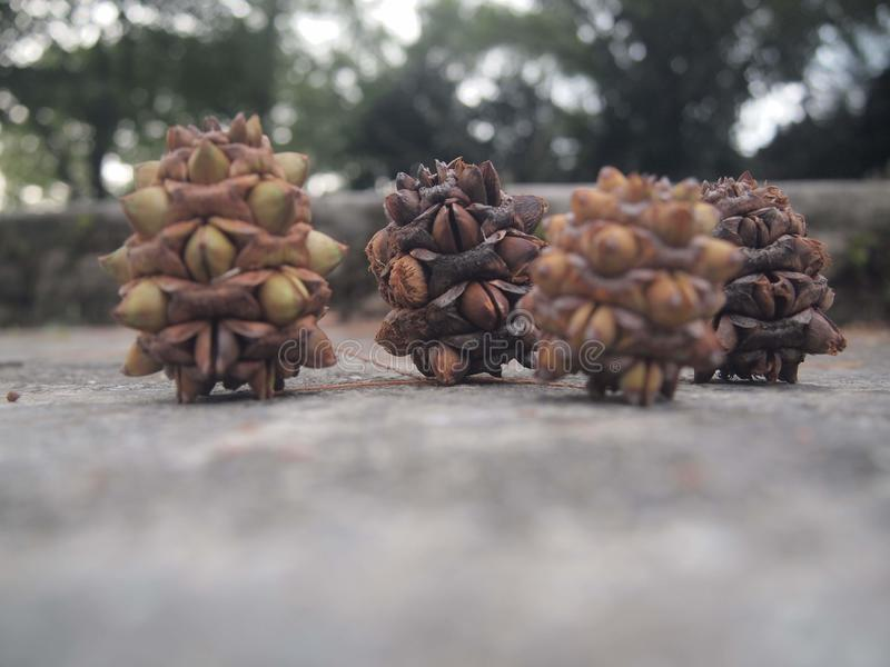 Many tropical seed pods. Abundant seed pods at Taiping lake gardens royalty free stock photo