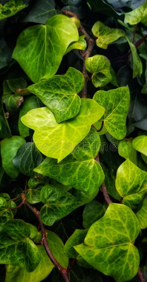 Many shades of green leaves. In a bunch. Looo similar to grape leaves royalty free stock photo