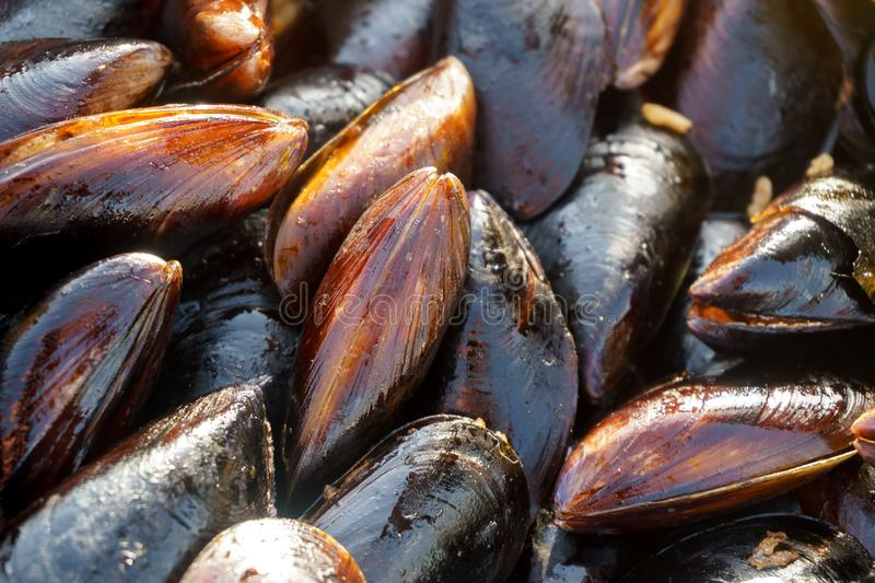 Many of the shells of mussels tray. Mussels close up royalty free stock photography