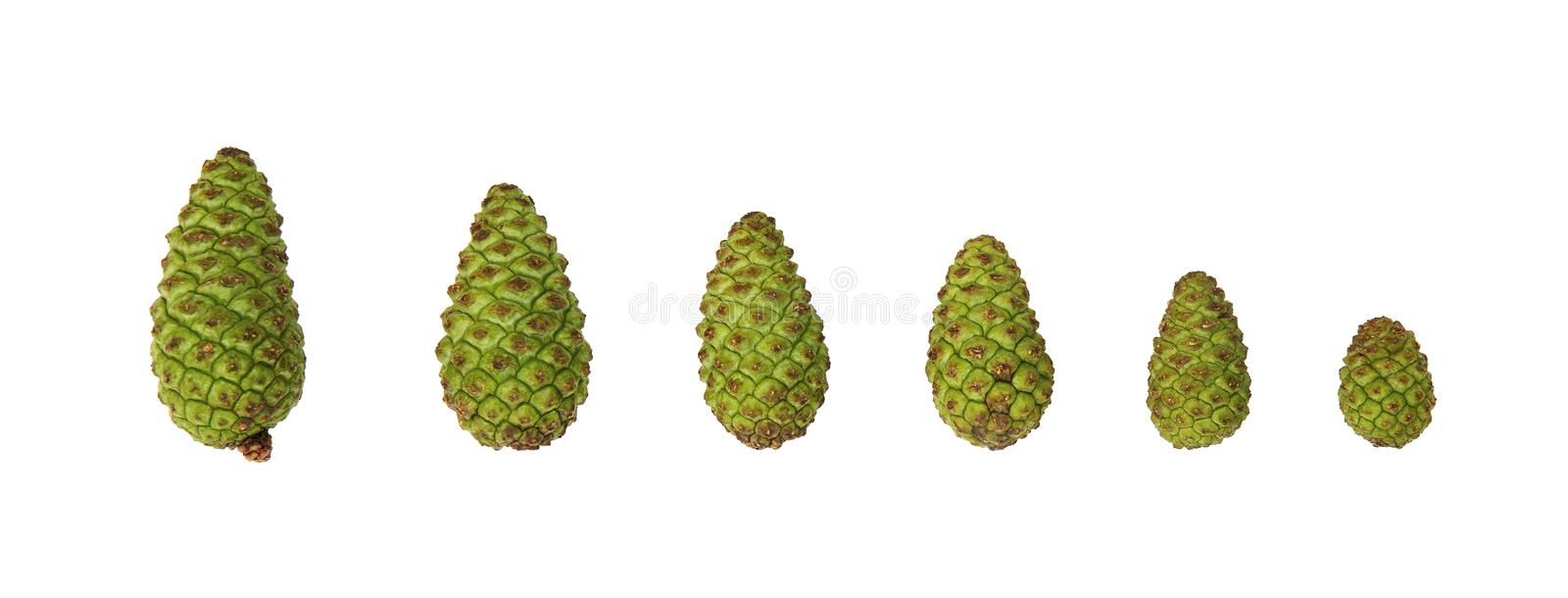Many sizes of Green pine cones, isolated on white background royalty free stock image