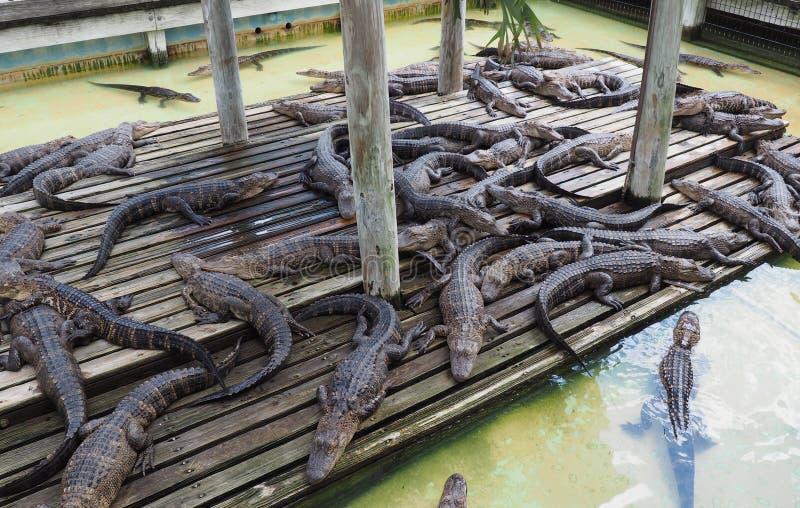 Many small alligators stock image