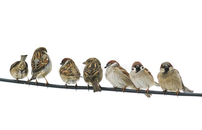Many small birds sparrows sitting on a wire on white isolated ba. Ckground royalty free stock image