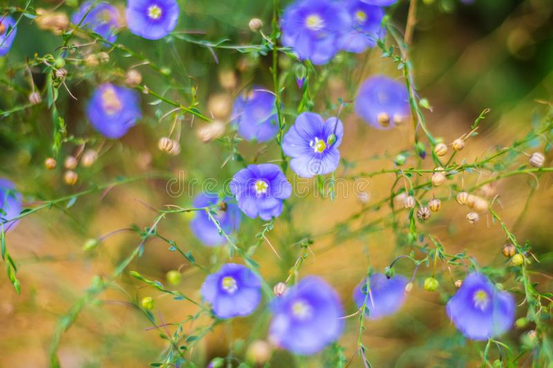 Many small blue flowers close-up in the clearing. Beautiful natural background, summer stock images