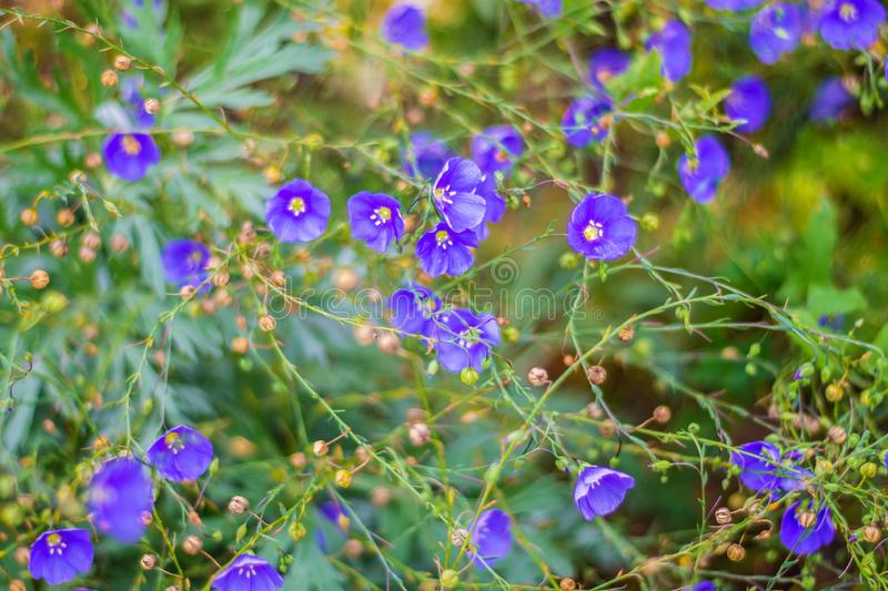 Many small blue flowers close-up in the clearing. Beautiful natural background, summer stock photography