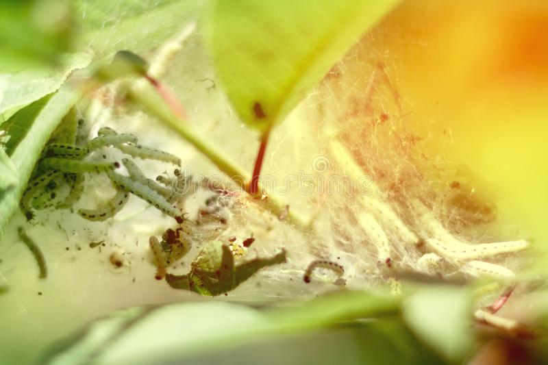 Many small caterpillars in a cocoon on a leaf in sunlight royalty free stock photo