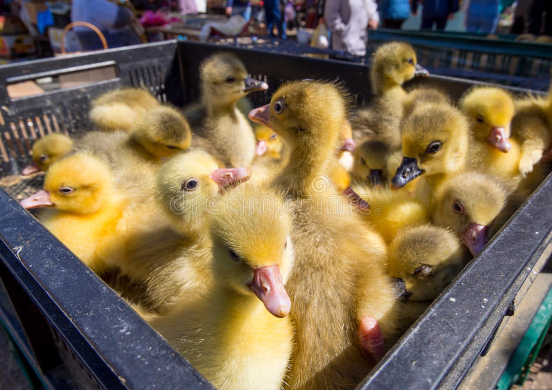 Many small ducklings are sitting in a plastic box royalty free stock images