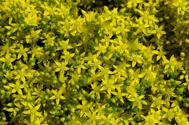 Many small flowers are acrid. Many small flowers are acrid scathingly yellow in color royalty free stock photography