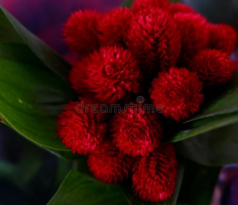 small fluffy red flowers stock photography