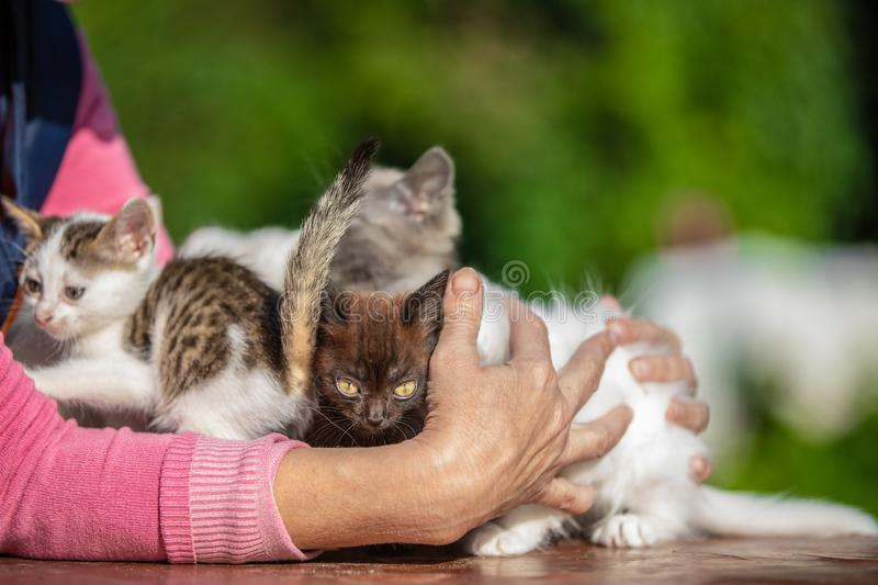 Many small kittens in the hands of a woman on blurred background royalty free stock photos