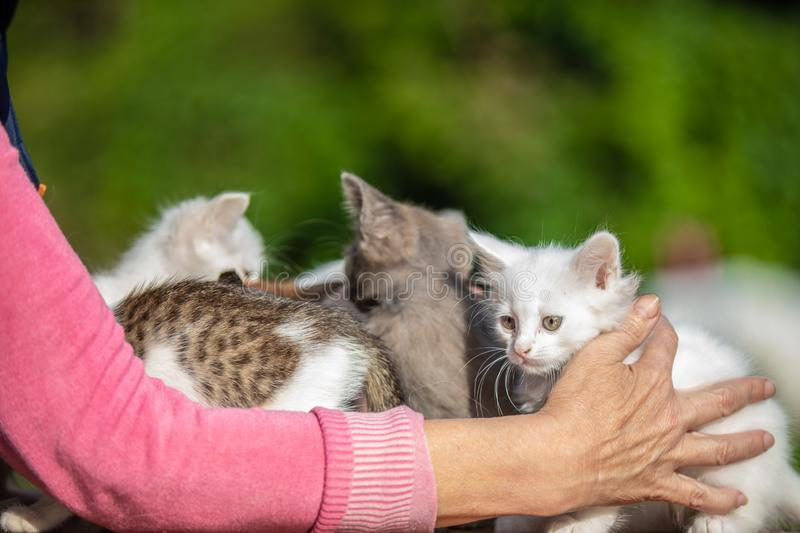 Many small kittens in the hands of a woman on blurred background stock image