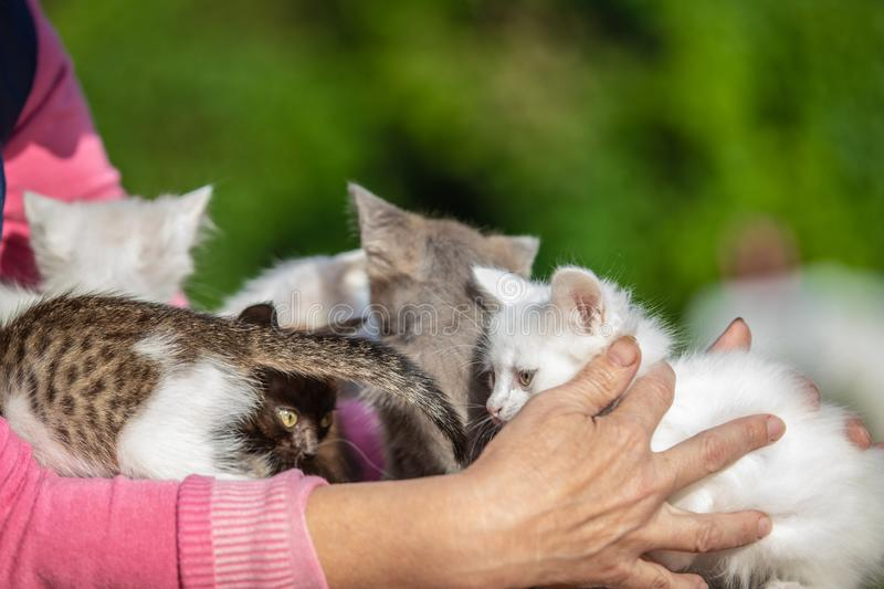 Many small kittens in the hands of a woman on blurred background royalty free stock photography