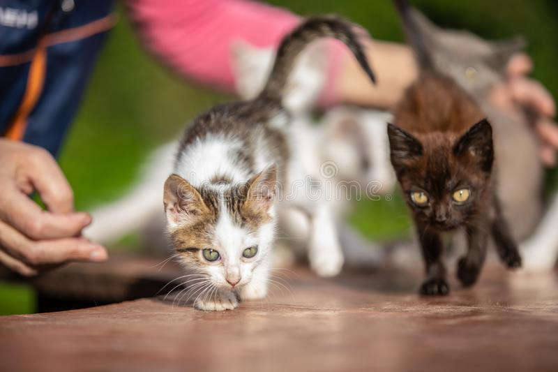 Many small kittens in the hands of a woman on blurred background royalty free stock image