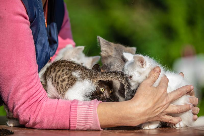 Many small kittens in the hands of a woman on blurred background royalty free stock images