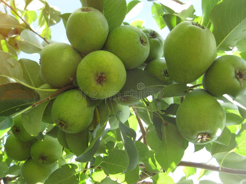 Many, many small pears, like a bunch of grapes hanging on a branch. stock photos