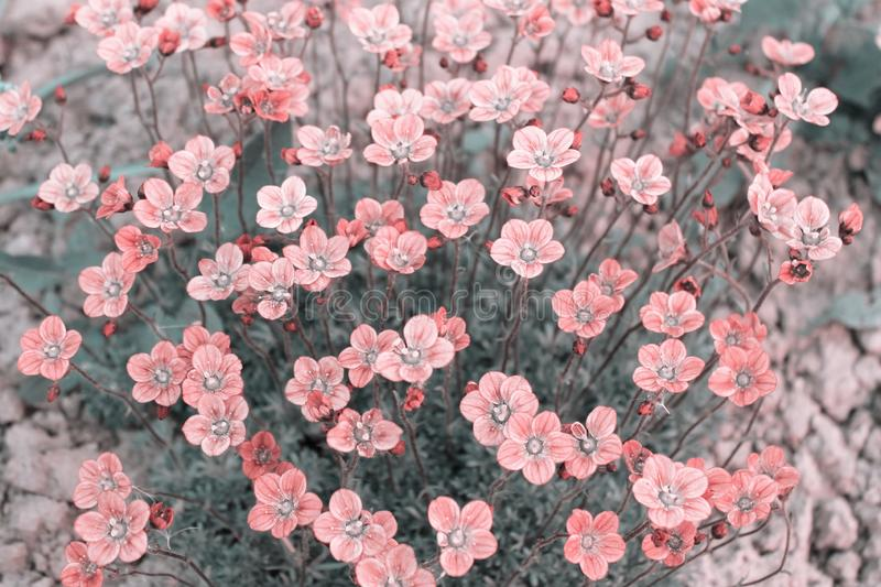 Many small pink flowers of Saxifrage arendsii, pastel colors royalty free stock photography