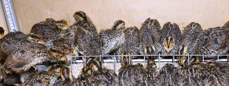 Feeding Quail Chicks